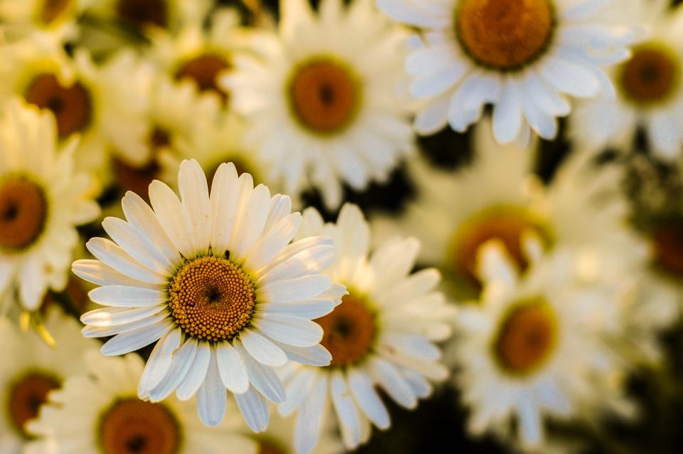 daisies, daisy, flowers