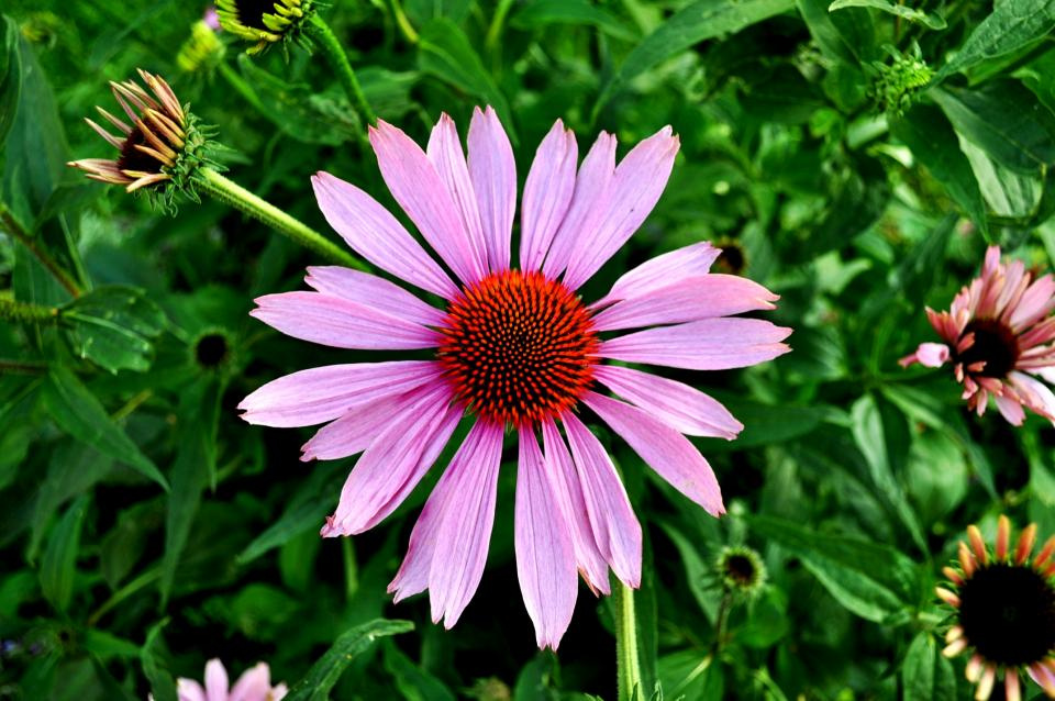 echinacea, flower, pink, garden