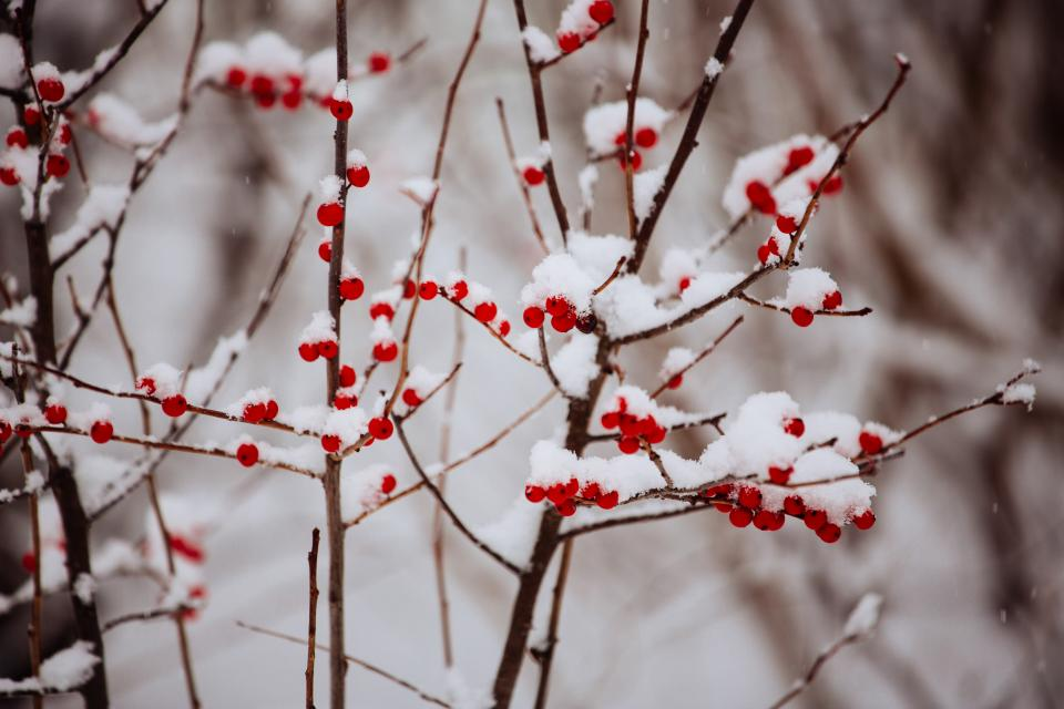 red, berries, branches, winter, snow, cold, christmas