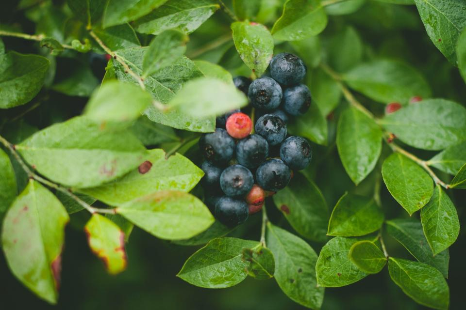green, plants, fruits, blueberries