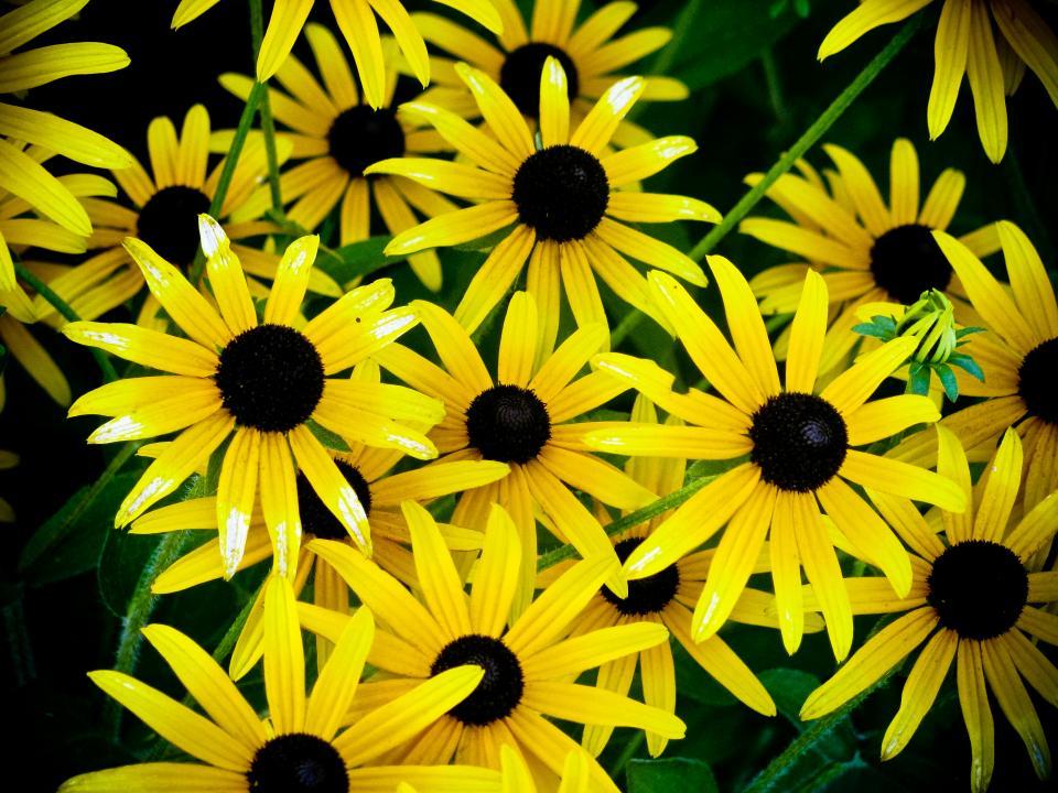 sunflowers, nature