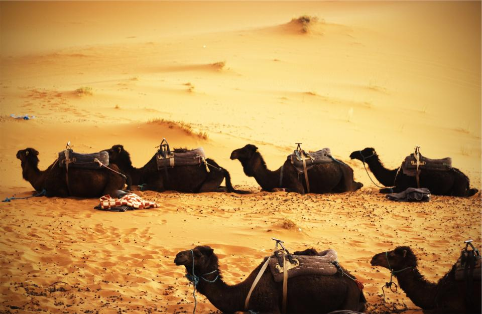 camels, desert, sand, animals