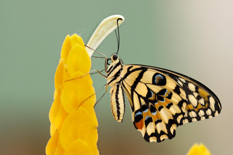 insects, butterfly, colors, beautiful, gorgeous, majestic, geometric, shapes, flowers, blossoms, pollen, still, bokeh
