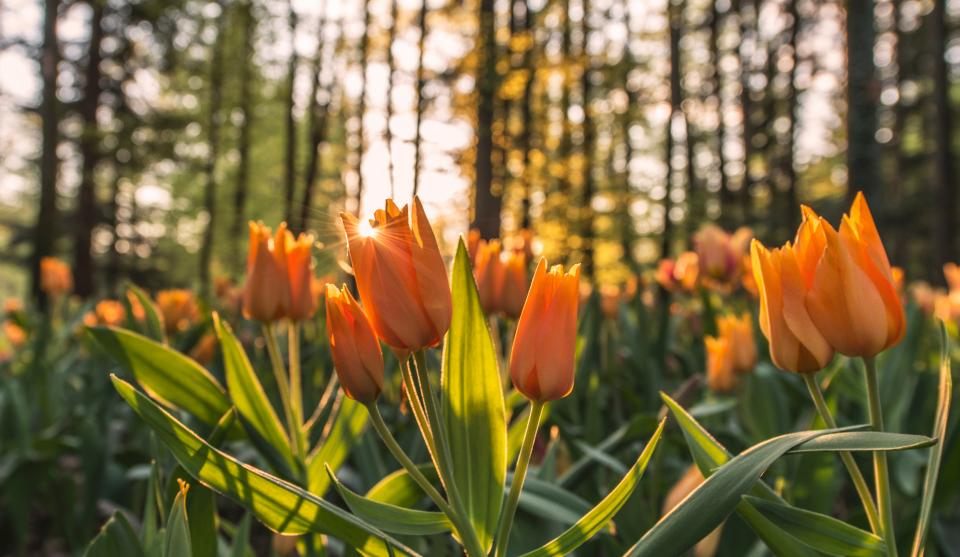orange, tulips, flowers, garden, nature, trees, forest, sunset