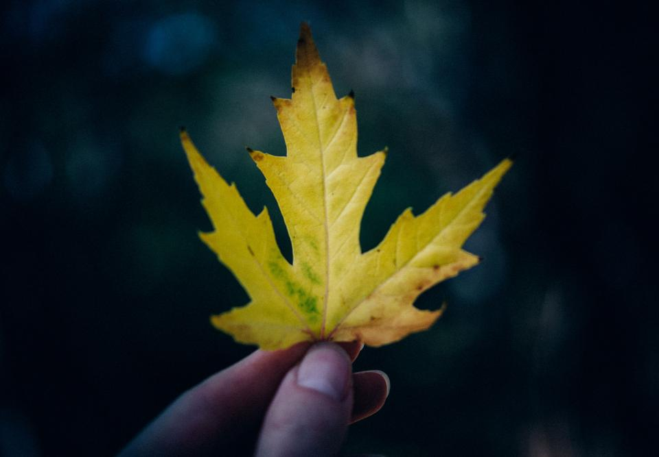 yellow, maple leaf, nature