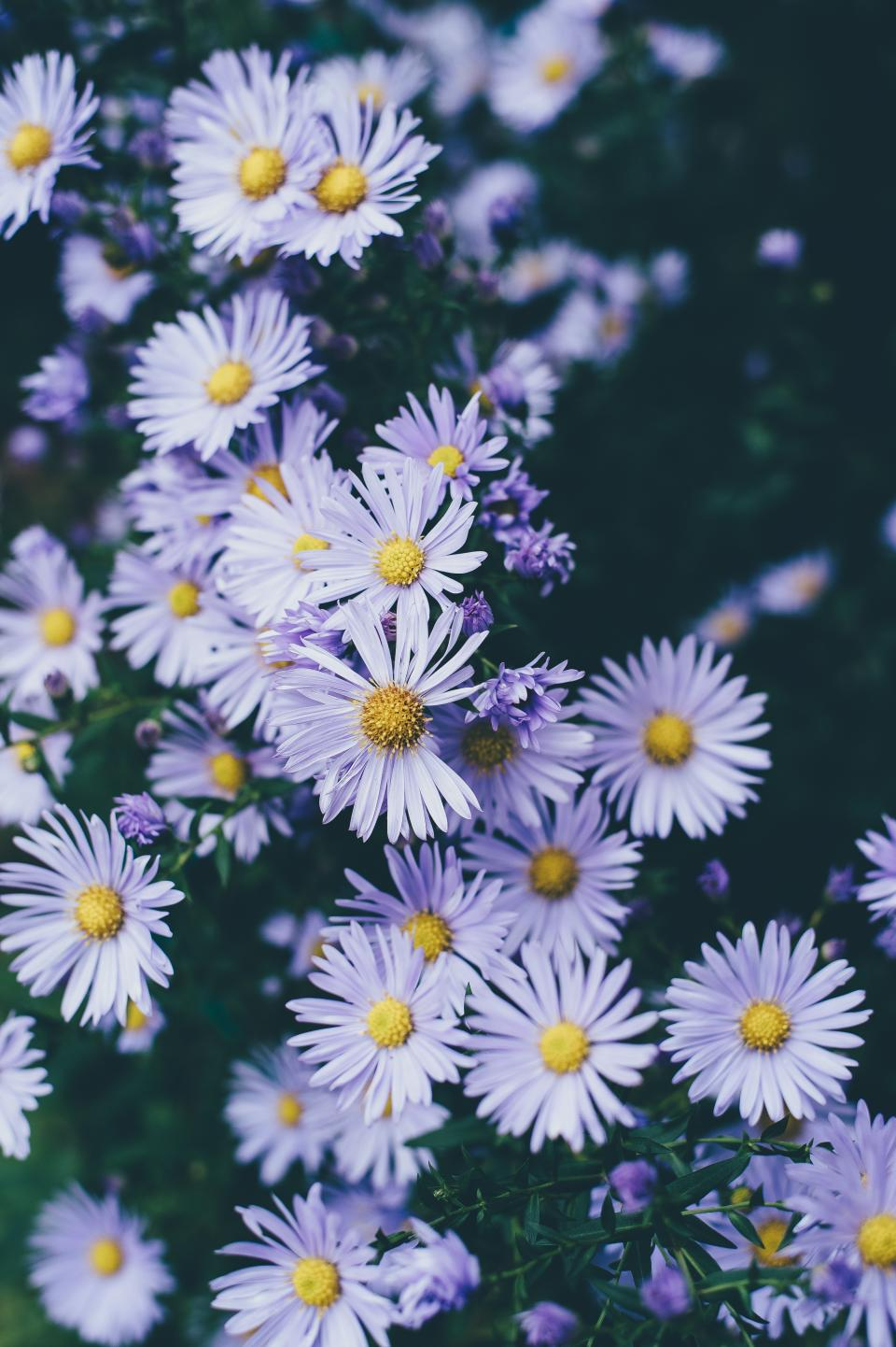 flowers, petals, purple, bloom, garden, farm, nature, plant