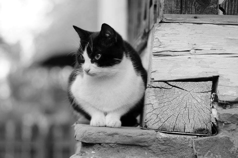 cat, ledge, pet, animal, whiskers, black and white