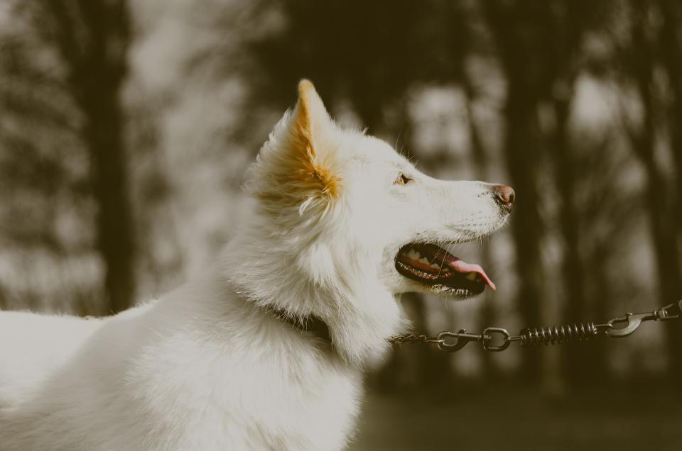 white, dog, dogs, german shepherd