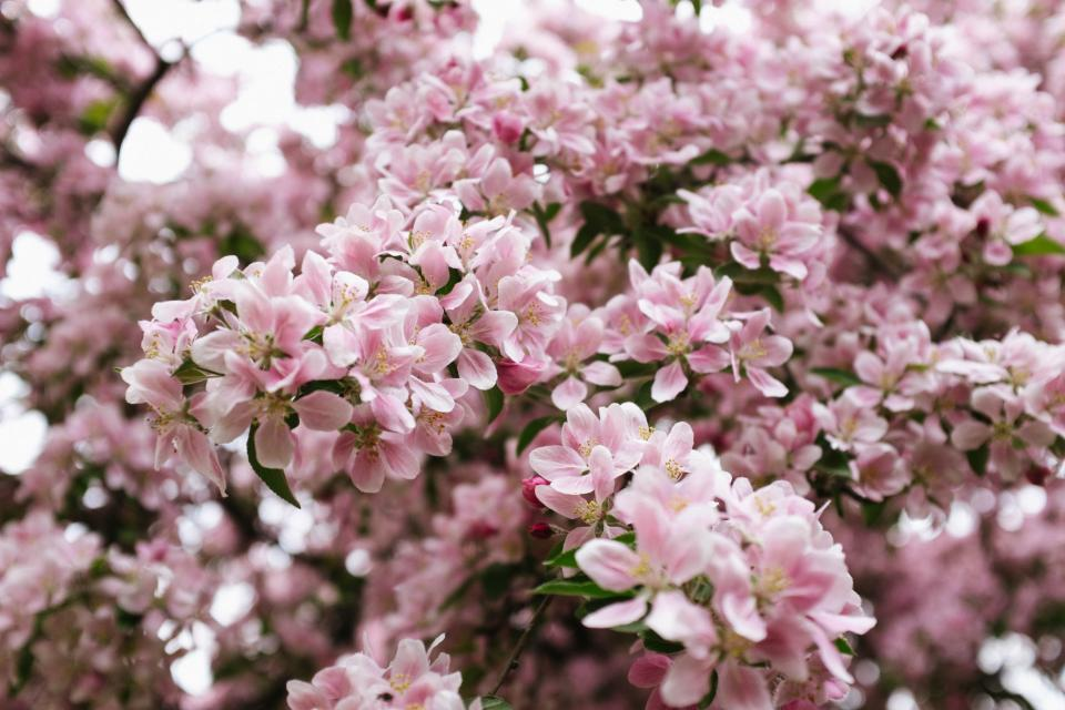 pink, flowers, blossoms, nature