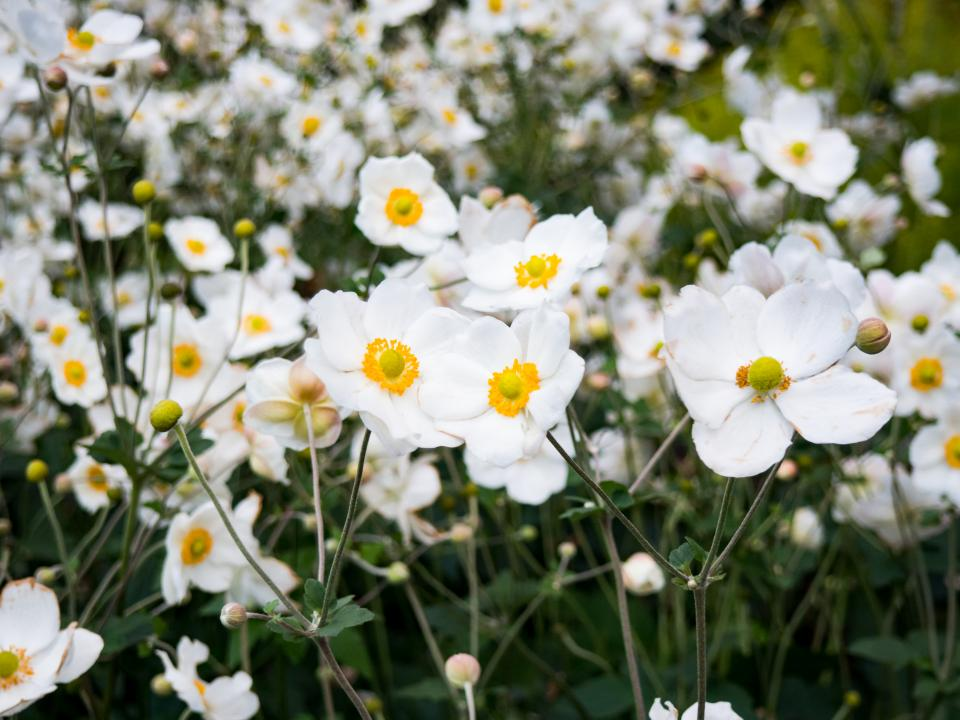 white, flowers, garden, nature, plants