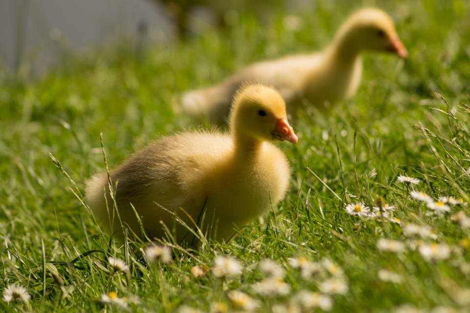 chicks, ducks, birds, animals, grass