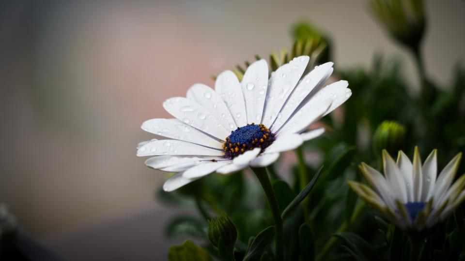 flowers, nature, blossoms, white, daisies, stalks, stems, leaves, petals, bokeh, outdoors, garden