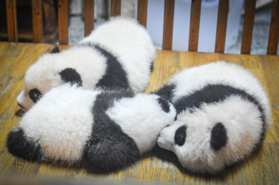 pandas, panda bears, animals, babies, sleeping, tired, resting