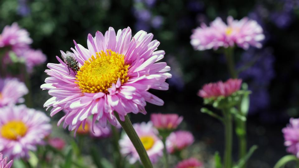 pink, flower, fly, insect