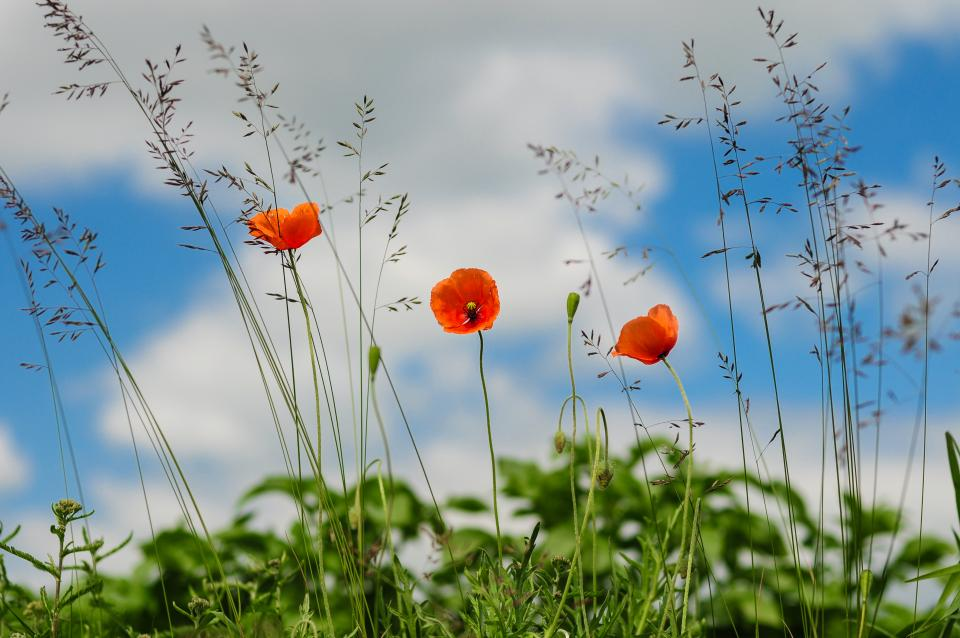 red, poppies, fields, war, peace