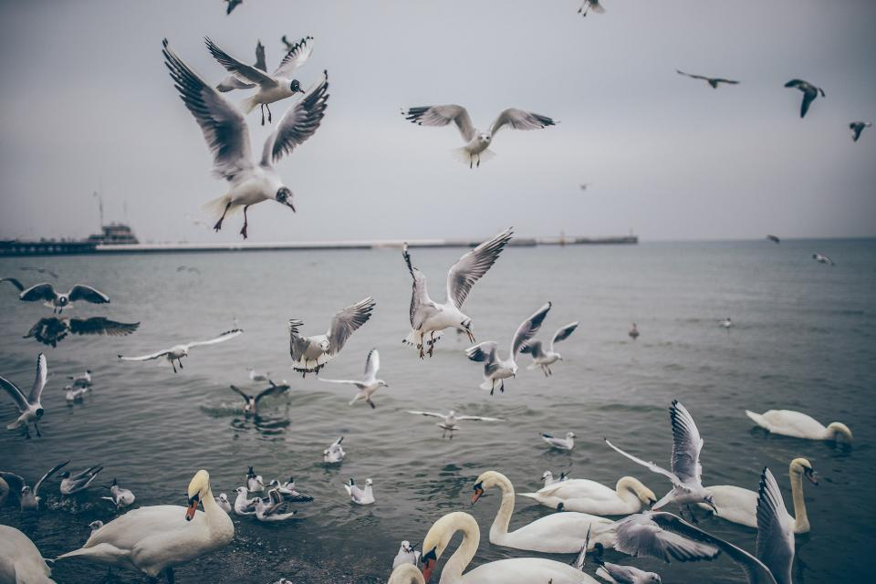 birds, ducks, seagulls, pigeons, swans, flying, wings, animals, water