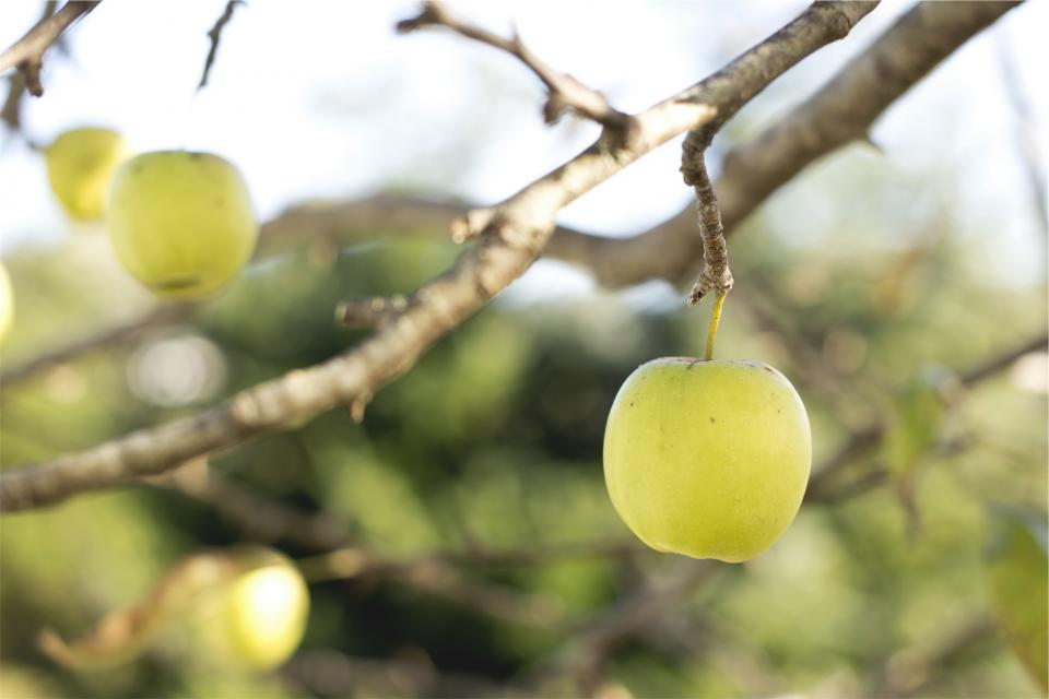 apples, fruits, food, trees, branches