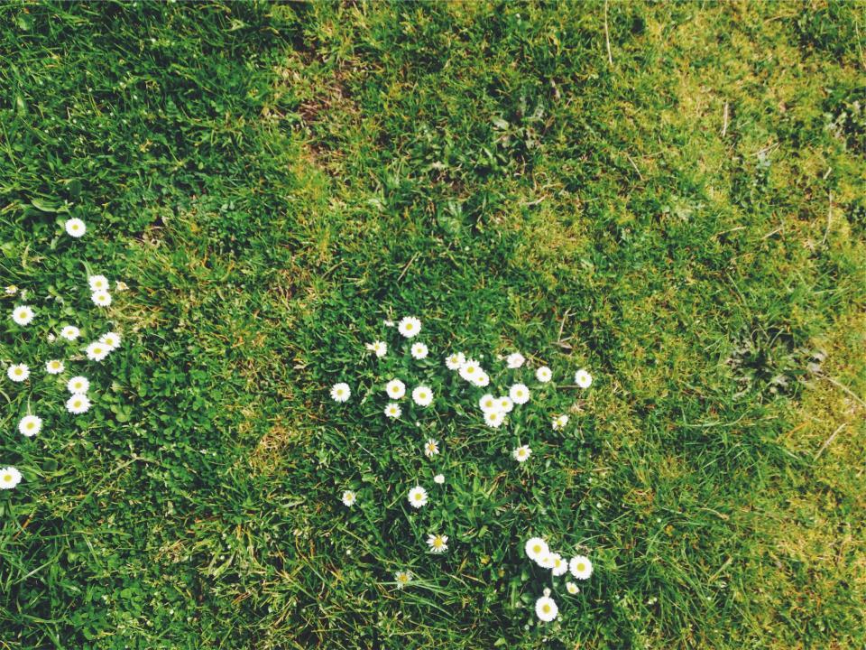 grass, daisies, daisy, flowers