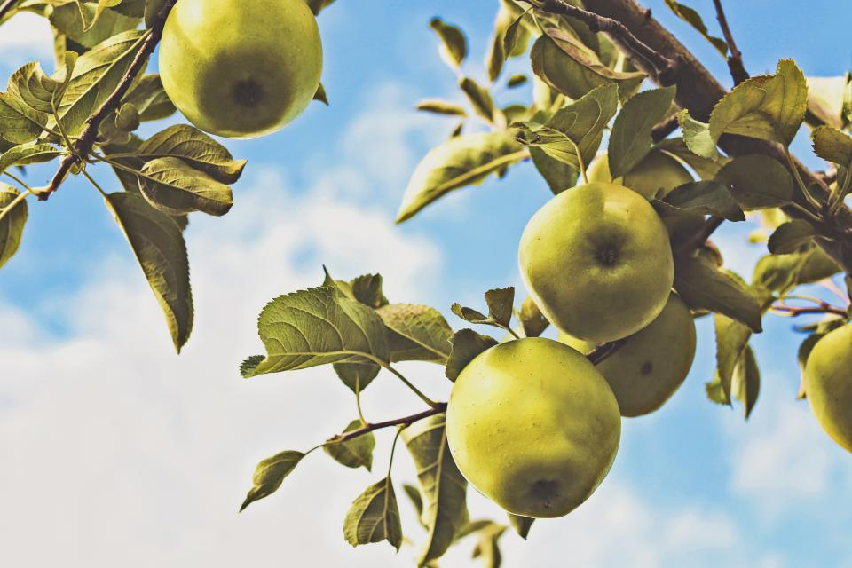 green, apples, trees, leaves, sky, sunshine, summer, clouds, fruits, healthy, nature