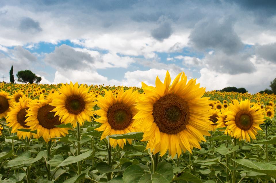 sunflowers, garden, fields, yellow, sky, clouds