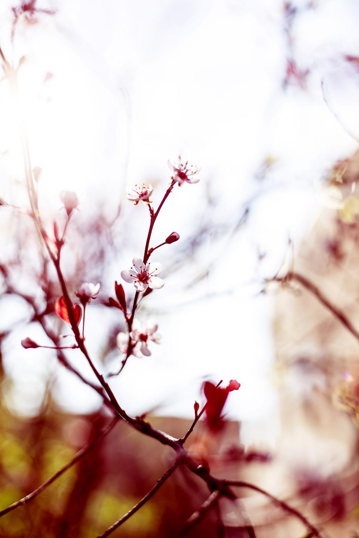 flowers, nature, blossoms, branches, stems, stalk, white, petals, still, bokeh, outdoors, beautiful, sakura, cherry blossoms