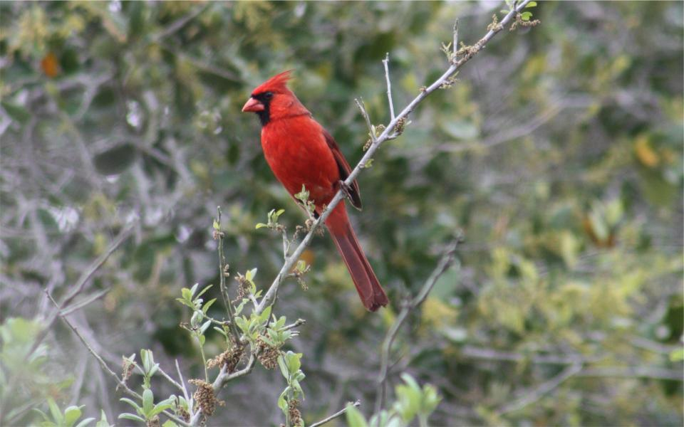 red jay, bird, branch, nature