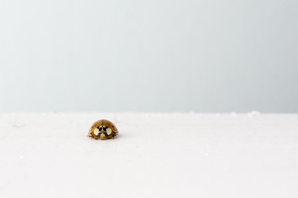 ladybug, insect, white, grey