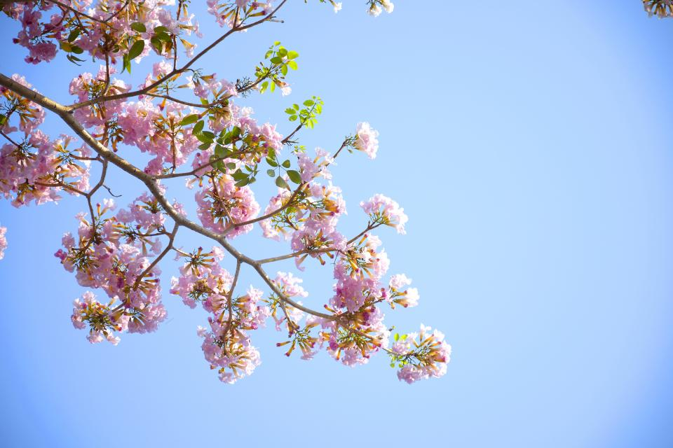flowers, nature, pink, blossoms, spring, summer, branches, leaves, petals, outdoors, trees, clear, blue, sky
