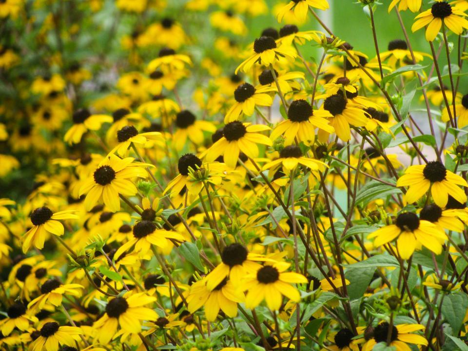 yellow, sunflowers, garden