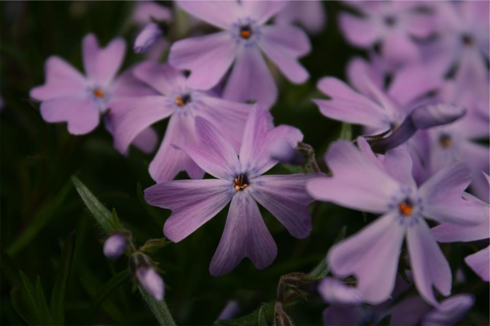 purple, flowers, garden