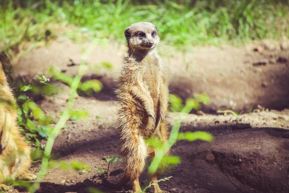meercat, mongoose, mammal, cute, brown, little, small, grass
