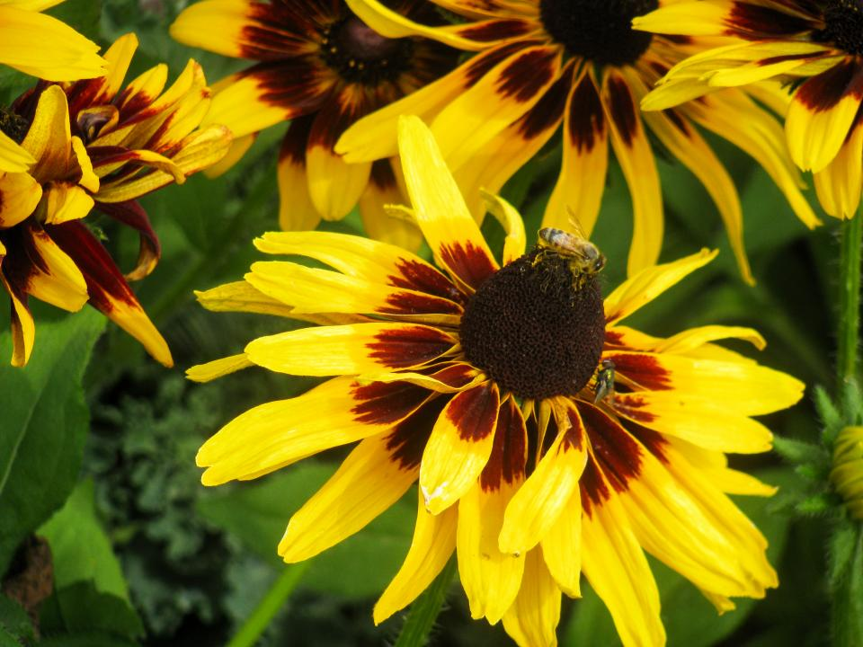 yellow, flowers, bumble bee, bees, garden, nature