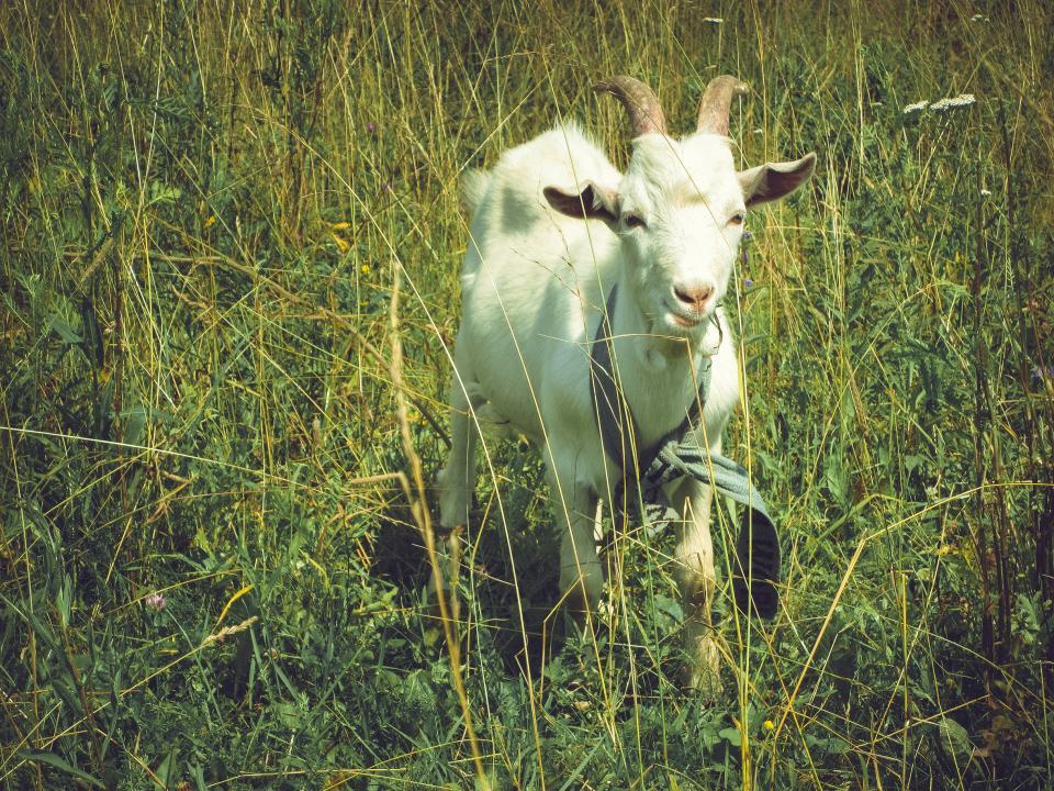 animal, goat, grass, sunny, field