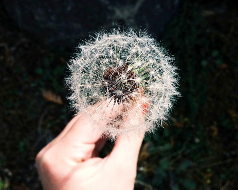dandelion, flower, hand, white