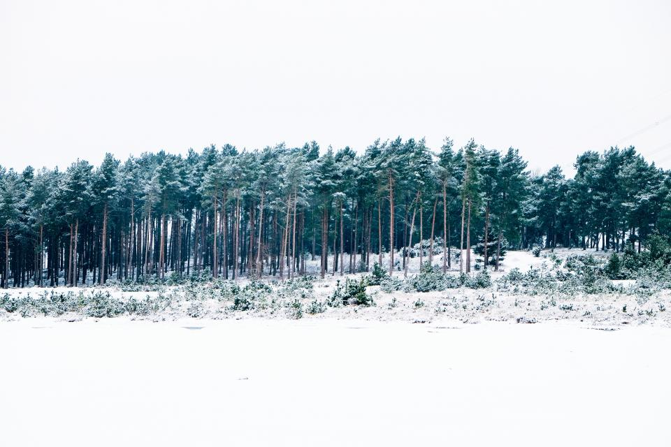 trees, forest, snow, winter, cold, white, sky, nature