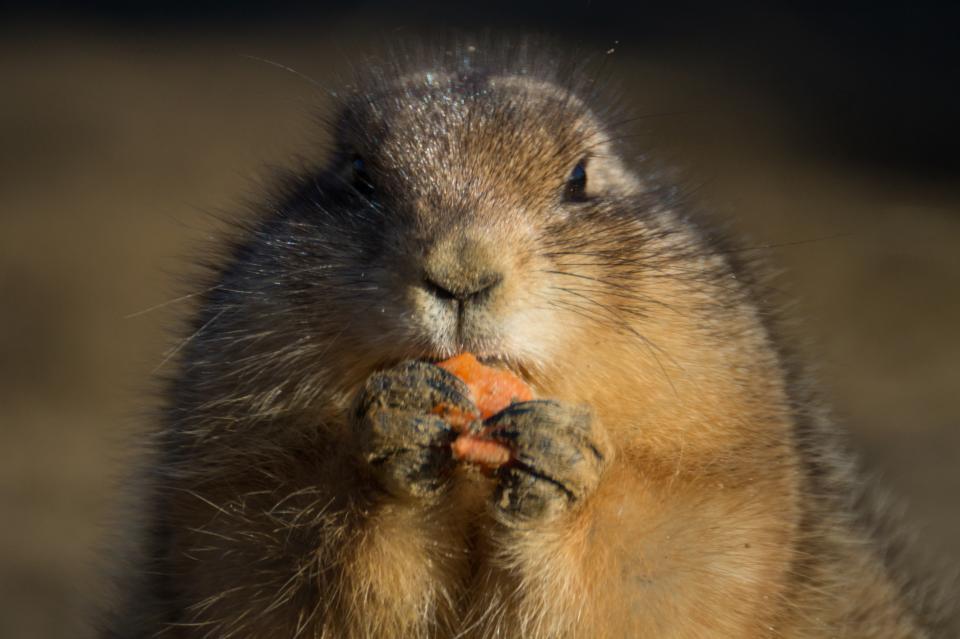 prairie dog, rodent, animal, eating, snack, carrot