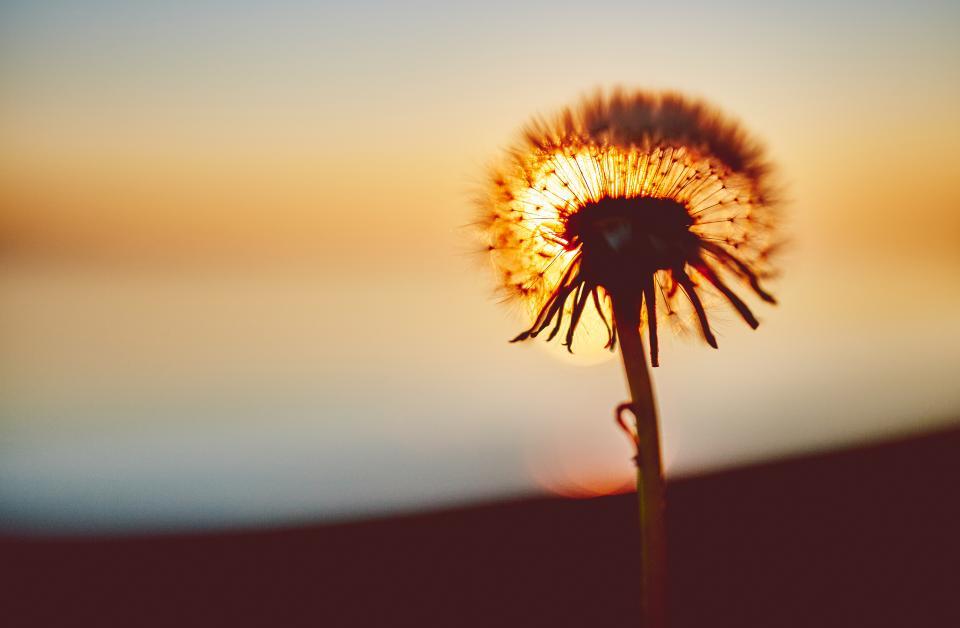 dandelion, flower, nature, sunset, dusk