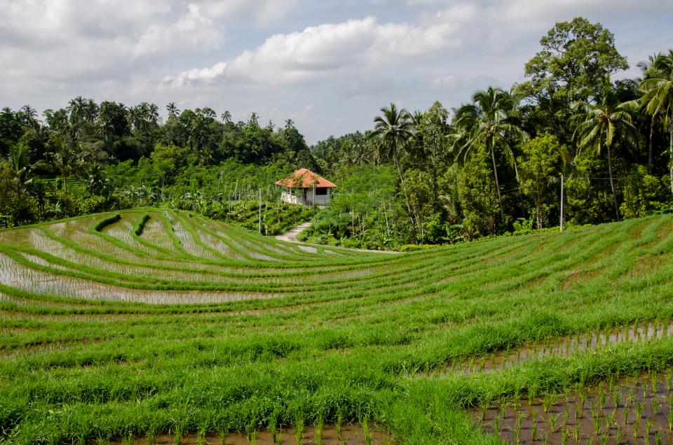 paddy field, rice, green, trees, tropical, agriculture, nature, rural