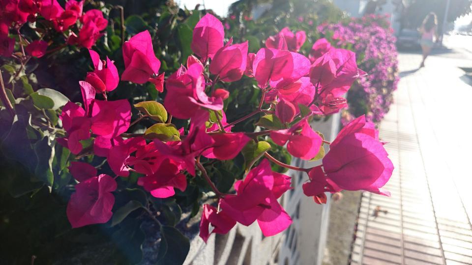 pink, flowers, garden, fence, sidewalk