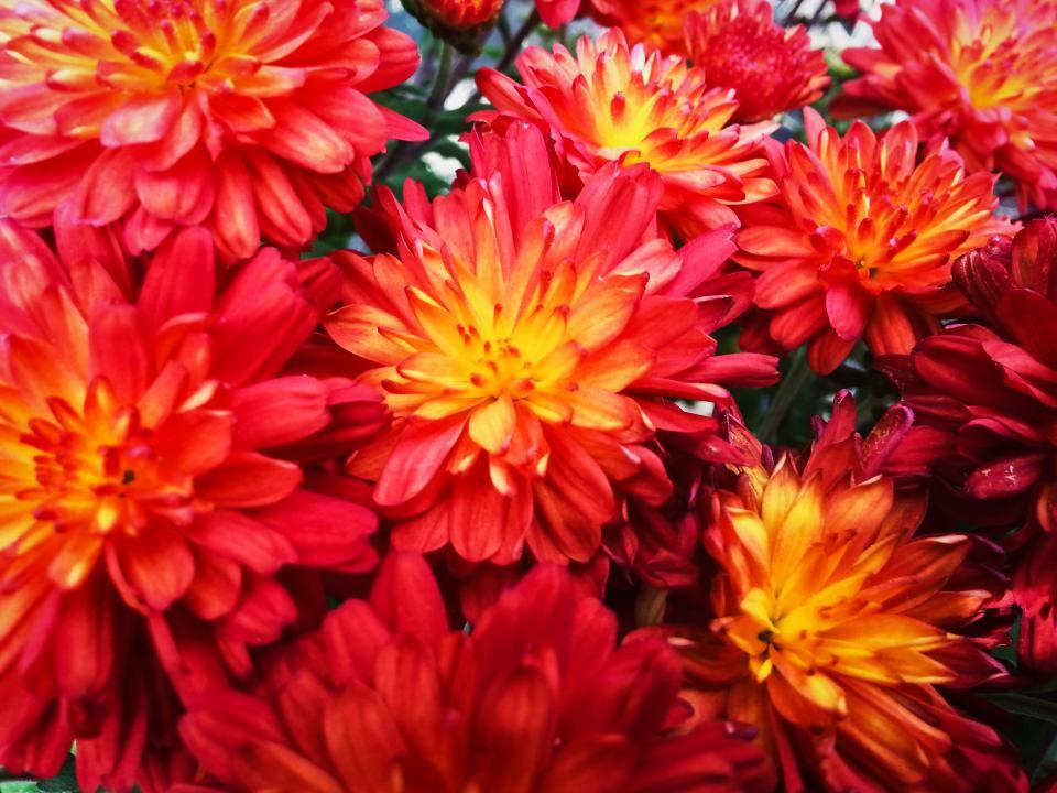 red, flowers, garden, nature