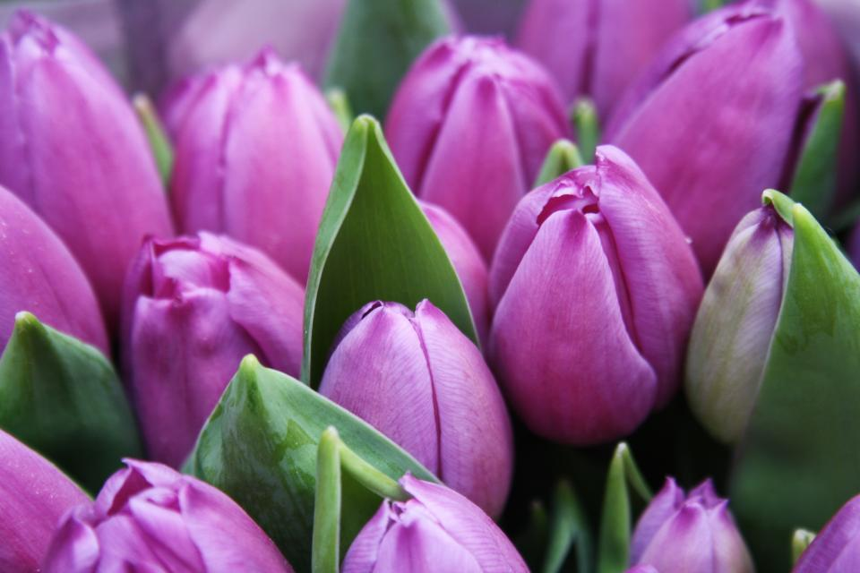 flowers, nature, blossoms, branches, bed, field, stems, stalk, purple, petals, yellow, bokeh, outdoors, garden, tulips