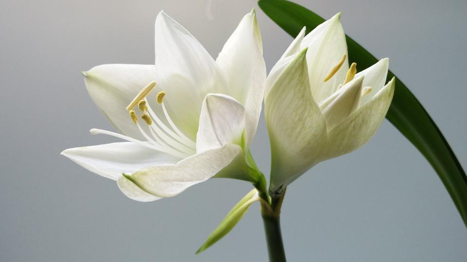 flowers, nature, blossoms, white, stems, stalks, petals, leaves, plants, macro, outdoors, garden, lilies