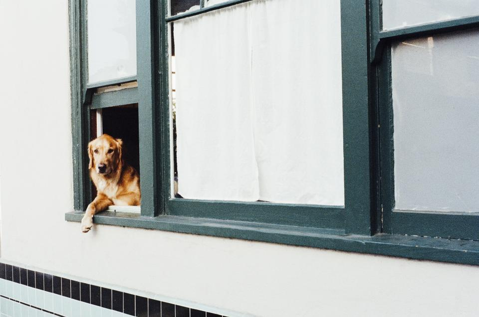 dog, animal, golden retriever, window, house