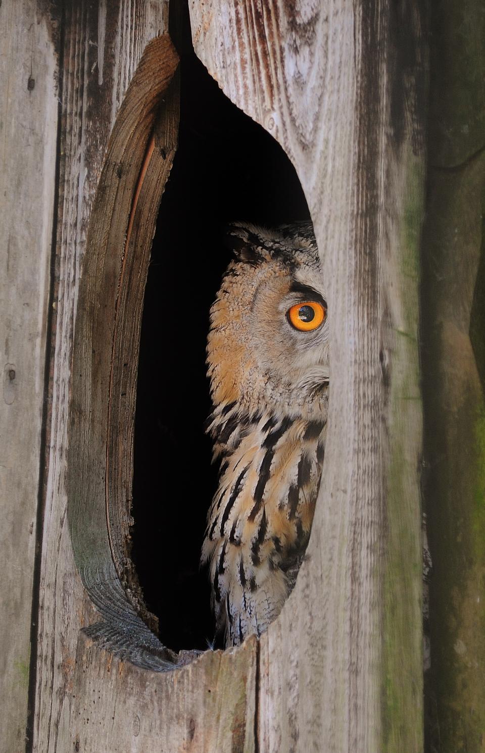 owl, bird, wood