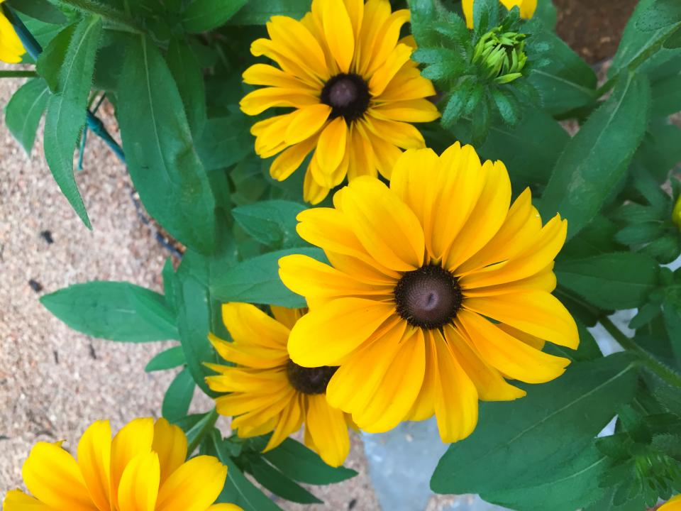 yellow, flowers, garden, nature, outdoors, summer, spring
