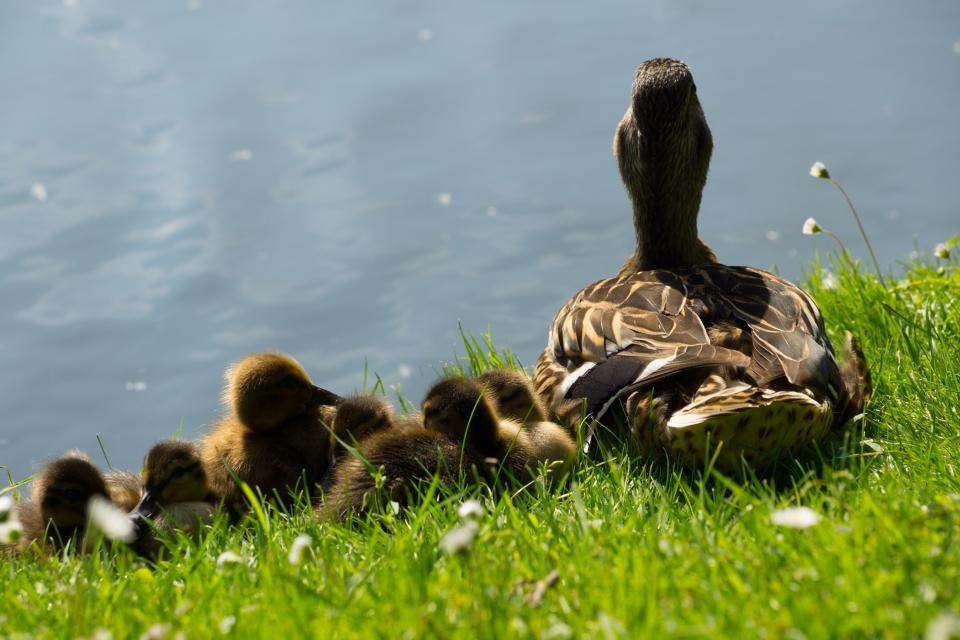ducks, ducklings, birds, grass, water, tail
