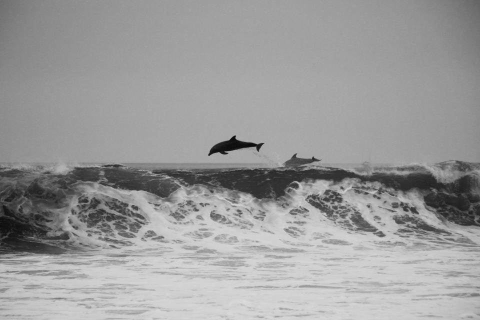 dolphins, ocean, sea, waves, black and white