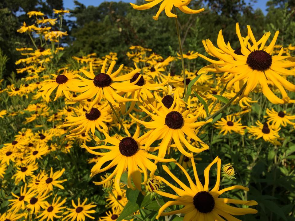 yellow, flowers, garden, nature