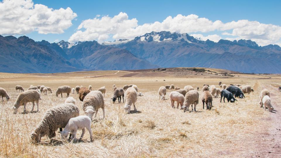 sheep, animals, grass, field, mountains, peaks, blue, sky, sunshine, clouds, nature, landscape