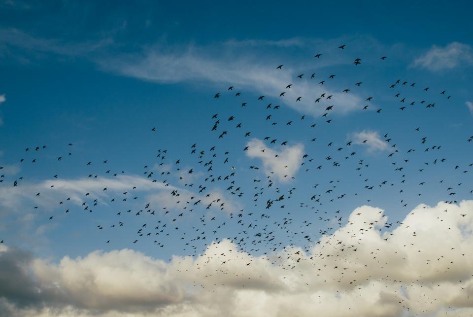 flock, birds, flying, clouds, blue, sky